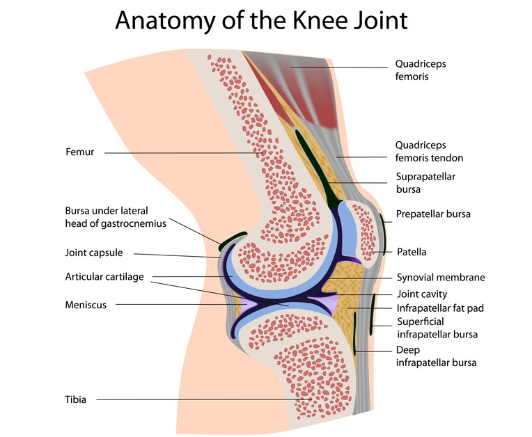 knee diagram - unmasa dalha, Human Body